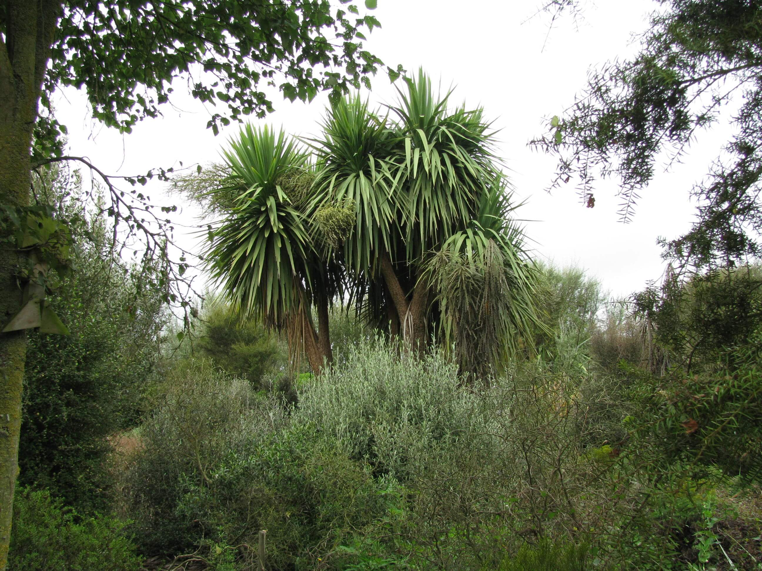 4.-the-cabbage-trees.jpg
